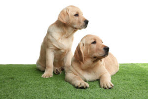 Cute yellow labrador retriever puppies on artificial grass against white background
